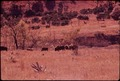 BUFFALO HERD ON BELL RANCH - NARA - 546102.tif