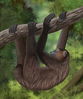 A giant lemur hangs from a tree limb by all four feet like a slow-moving sloth. The tail is short, and the arms are slightly longer than the legs.