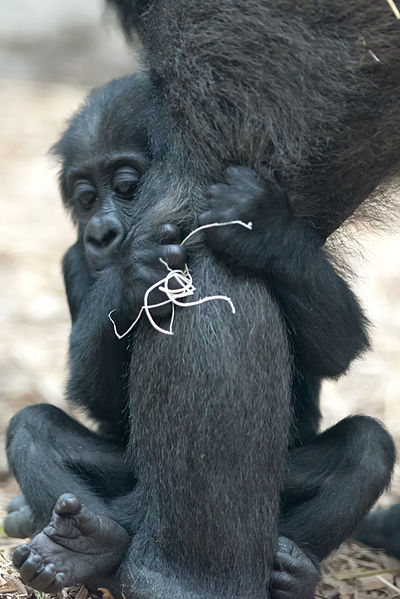 File:Baby Gorilla Holding on Tightly (21400288522).jpg