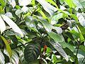 Baccaurea ramiflora (Burmese grape) leaves in RDA, Bogra.jpg