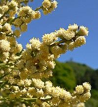B. articulata