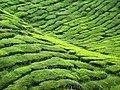 Bahrat Tea-Plantation - panoramio.jpg