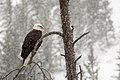 Bald Eagle (15999893882).jpg