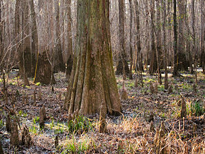 Baldcypress (Taxodium distichum) on Congaree National Park Low Boardwalk trail.jpg