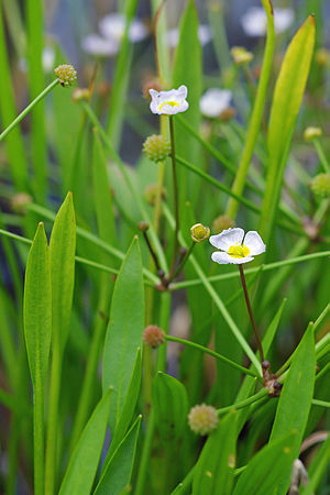 Baldellia ranunculoides - Image: Baldellia Ranunculoides 3