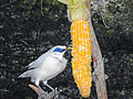 Bali Myna feeding on Sweet Corn in Hong Kong Park.jpg