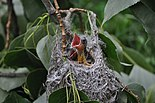 Baltimore Oriole chicks in NY.JPG