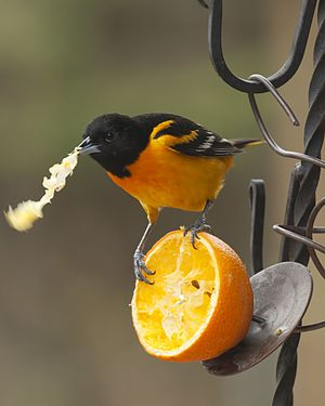 Baltimore Oriole eating orange.jpg