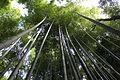 Bamboo forest in Arashiyama (bottom view).jpg