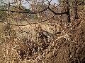 Banded Mangoose Mungos mungo in Tanzania 3450 Nevit.jpg