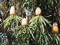 Banksia prionotes OIC early flower.jpg