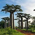 Baobab Avenue - panoramio.jpg