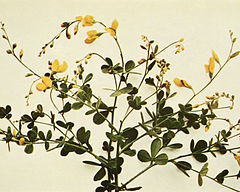 Baptisia tinctoria WFNY-107A-5x4.jpg