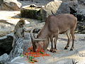 Barbary ape and Barbary sheep at Vienna Zoo (6363294265).jpg