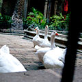 Barcelona Cathedral cloister geese.jpg