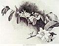 ברטריה - Barteria Nigritiana