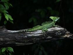 Un basilic vert mâle, au Costa Rica