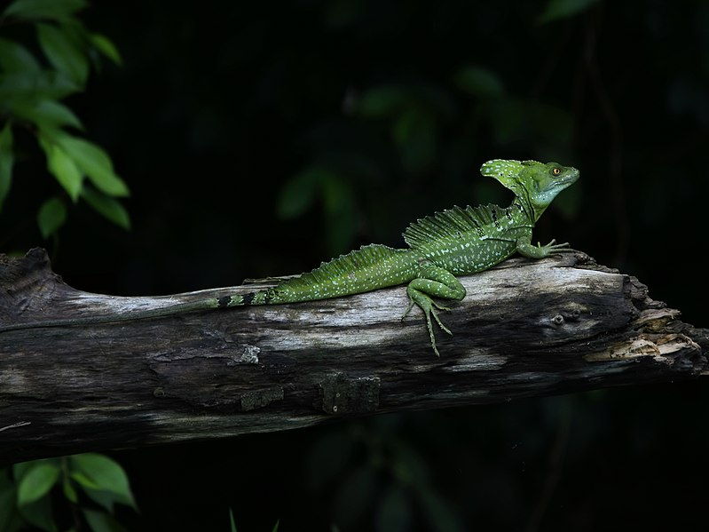 Breeding the Green (Plumed) Basilisk and Related Species ...