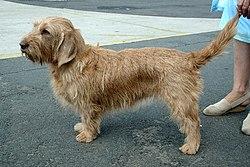 Basset Fauve de Bretagne Dogs