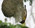 Baya Weaver (Ploceus philippinus)- Male making nest W IMG 0663.jpg