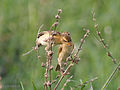 Baya Weavers I- Kolkata eating seeds IMG 4673.jpg