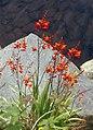 Beara-12-Rote Lilie am Bach-1989-gje.jpg
