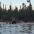 Bears on Big Island - panoramio.jpg