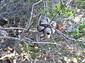 Beaufortia aestiva (fruits).JPG