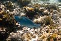Beautiful Parrot Fish (6021863669).jpg