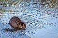 Beaver, Yellowstone River (bbff1985-a3f5-47c8-a37f-dae27f949595).jpg