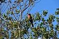 Bee-eaters, Selous Game Reserve (2) (29039359735).jpg