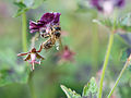 Bee gathering nectar (14094642026).jpg