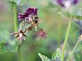 Bee gathering nectar (14094642026).jpg