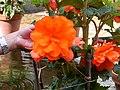 Begónia laranja.jpg