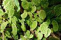 Begonia microsperma-Jardin botanique Jean-Marie Pelt (2).jpg