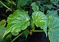 Begonia obliqua kz01.jpg