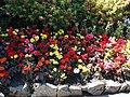 Begonias (11348449625).jpg
