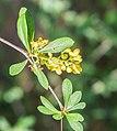 Berberis wilsoniae in La Jaysinia (4).jpg