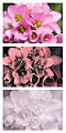 Bergenia-crassifolia-Vis-UV-IR-spectral-comparison.jpg