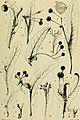 Berichte der Deutschen Botanische Gesellschaft (1891) (20340453416).jpg