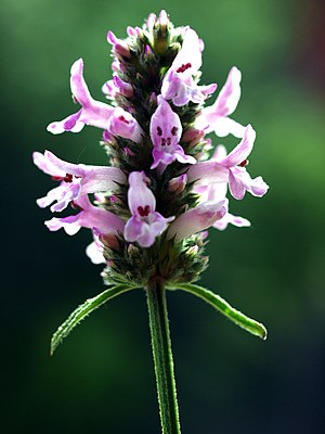 Betonica officinalis s.l. high mountain variety Mt. Orjen Montenegro.JPG