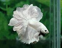 Betta splendens,white.jpg