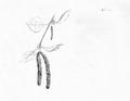 Betula pendula, aerochorie.png