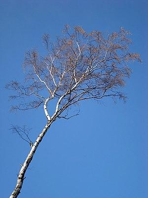 Betula pendula (Brzoza brodawkowata)