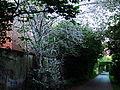 Beuel-broetalbahnweg-gespinstmotte-13052015-01.jpg