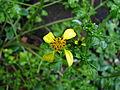 Bidens hillebrandiana subsp. polycephala (5743354367).jpg