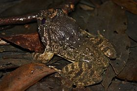 Big-headed Frog (Limnonectes fujianensis) 大頭蛙5.jpg