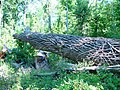 Big Oak trees state park 6-9-10 - panoramio.jpg