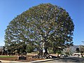 Big Tree Park in Glendora.jpg
