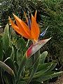 Bird of Paradise Flower (Strelitzia reginae) - geograph.org.uk - 829207.jpg